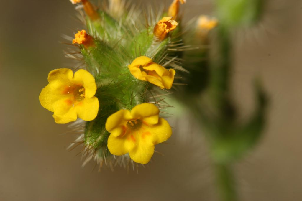 Checker fiddleneck