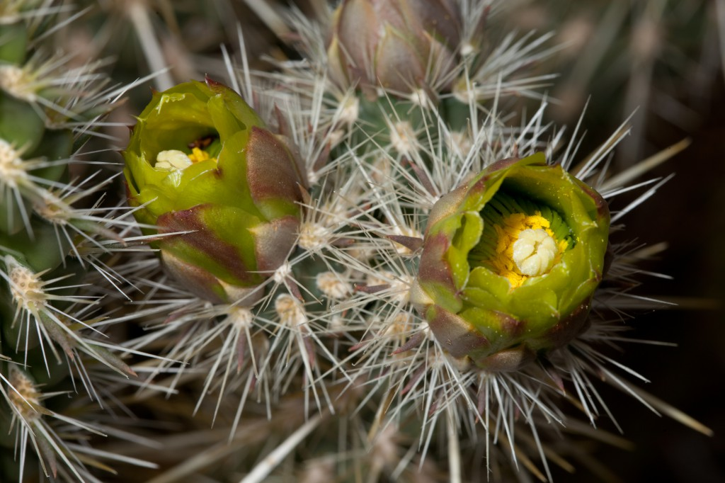 Cholla Bloom