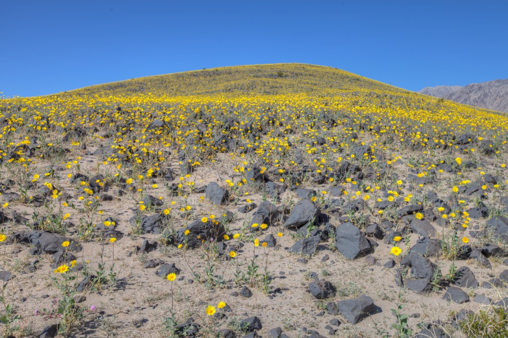 Flowers In Death Valley