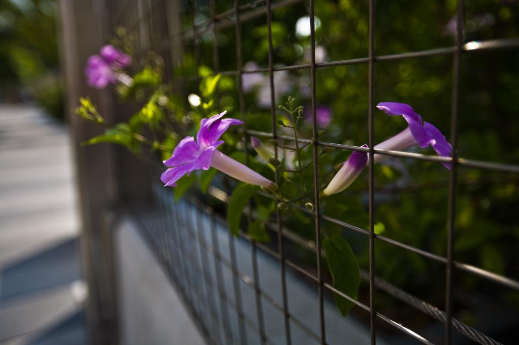 Morning Glory Through Fence