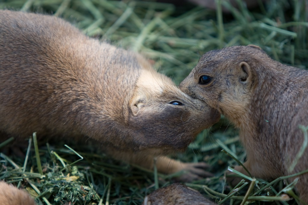 Prairie Dog Kisses