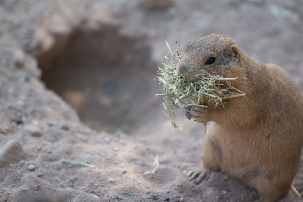 Prairie Dog Munching