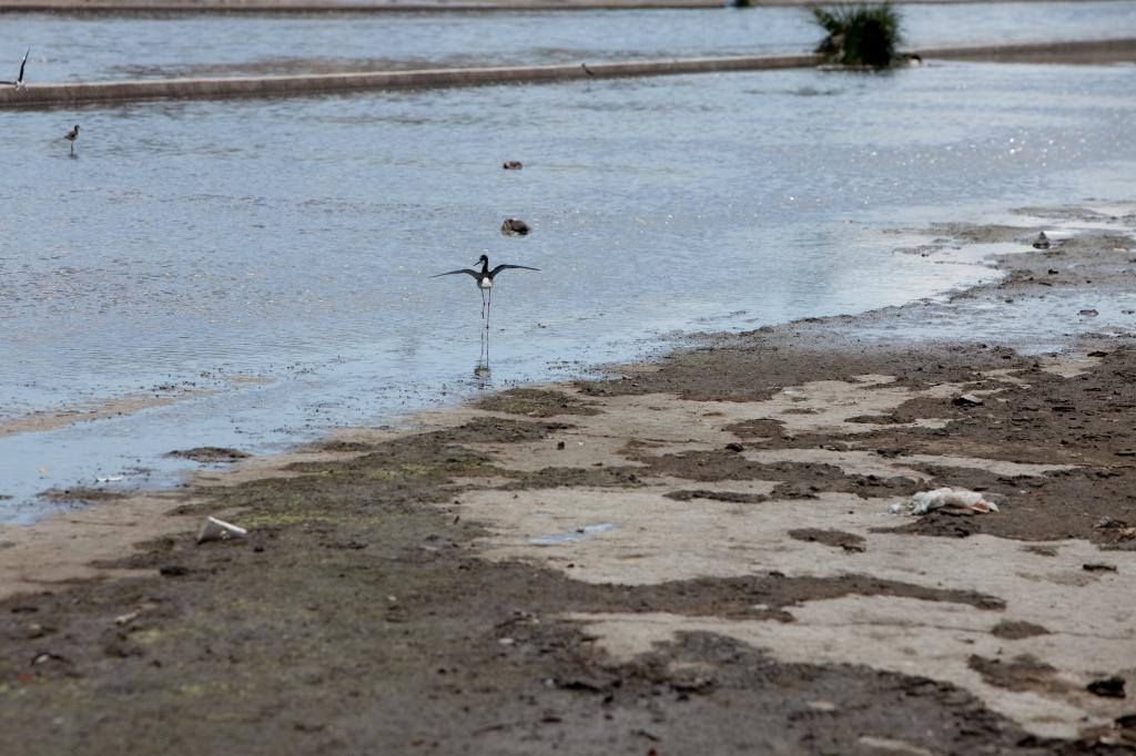 Sandpiper in the LA River