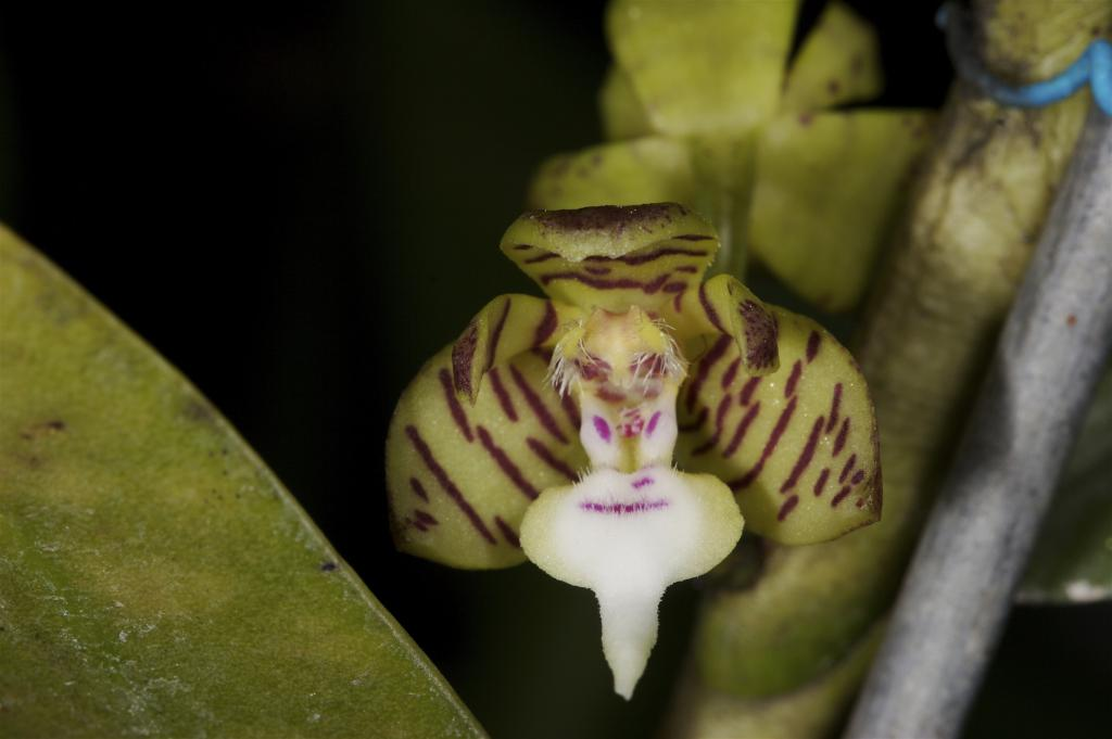 hairy orchid