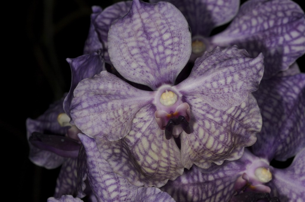 purple checkered orchid