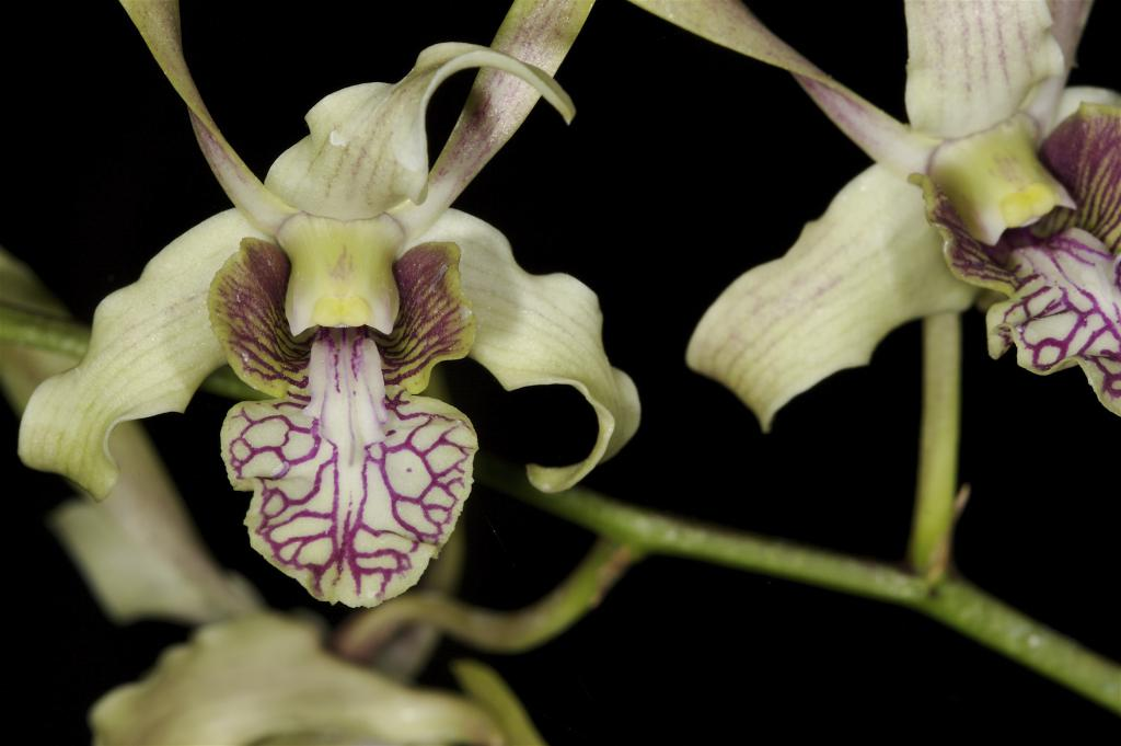 purple veined orchid