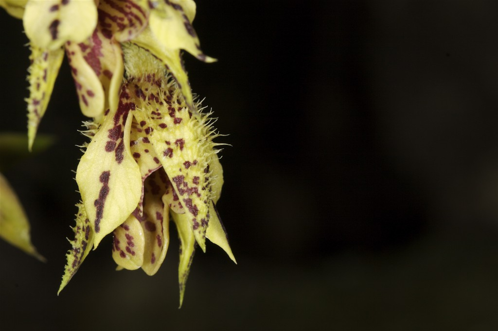 spiny orchid