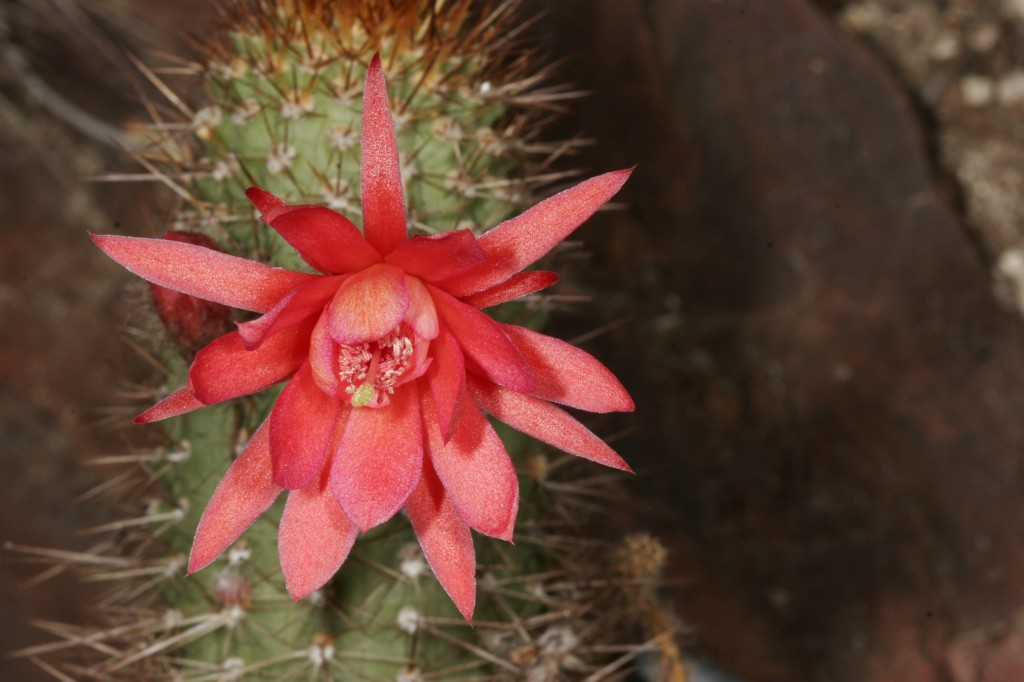 Cactus Flower of Love