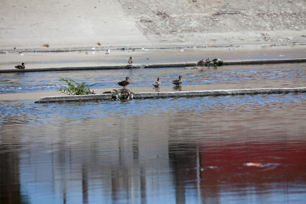 Ducks in the LA River