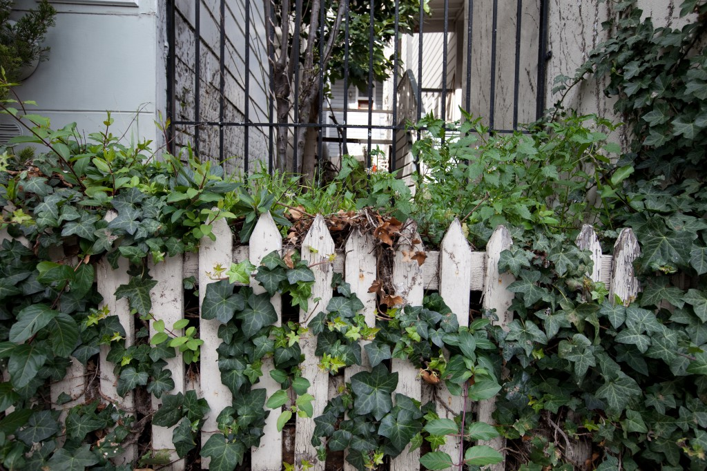 Ivy-covered Picket Fence