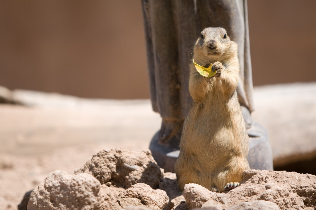 Prairie Dog eating a leaf