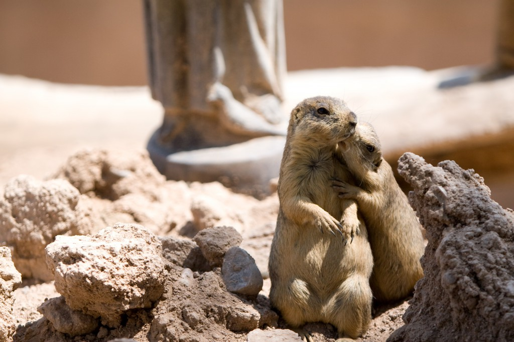 Prairie Dogs Kissing